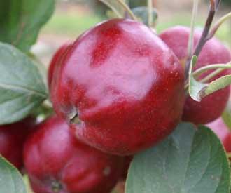 Apple - Bloody Ploughman