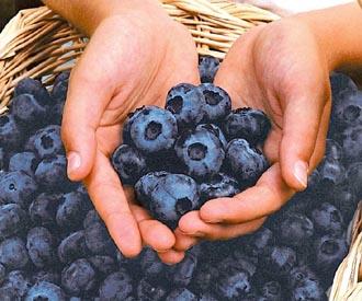 Blueberry - Chandler