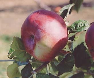 Apple - Blue Pearmain