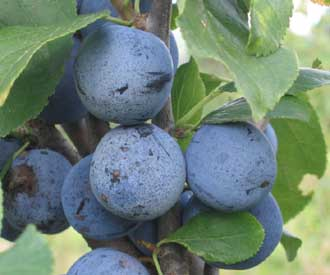 Plum - Blue Rock