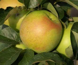 Apple - Bolero