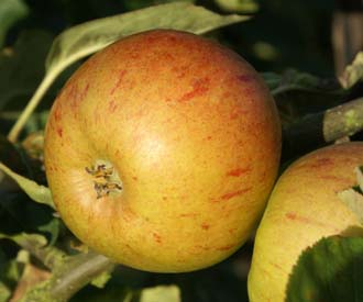 Apple - Bow Hill Pippin