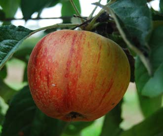 Apple - Braintree Seedling