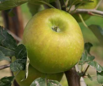Apple - Bramley 20