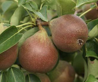 Pear - Brandy