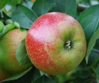 Apple - Braddick Nonpareil