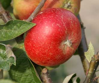 Apple - Bramshott Rectory