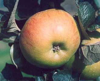 Apple - Bramley's Seedling