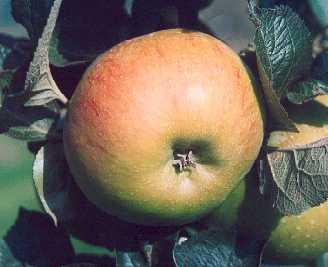 Apple - Bramley's Seedling