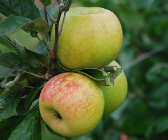 Apple - Brenchley Pippin