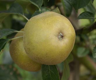 Apple - Brownlees' Russet