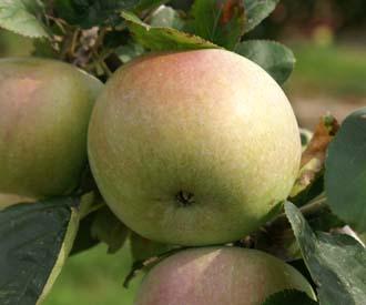 Apple - Byfleet Seedling