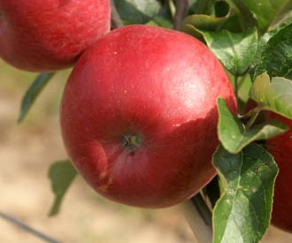 Apple - Carswell's Honeydew