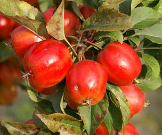 Crab Apple - Nuvar® Carnival