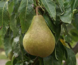 Pear - Nuvar® Celebration