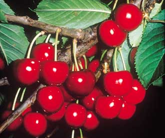 Cherry - Celeste