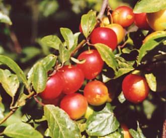 Cherry Plum - Cherry Plum