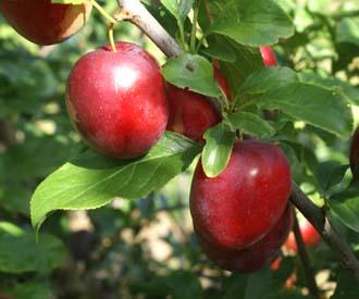 Cherry Plum - Ruby