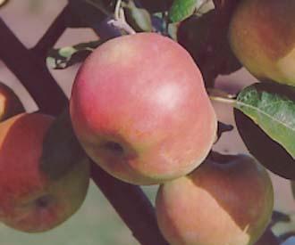 Apple - Cistecke