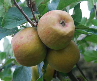 Apple - Claygate Pearmain
