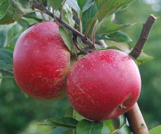 Apple - Clopton Red