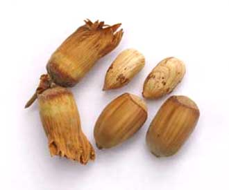 Cobnut - Kentish Cob