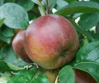 Apple - Coeur de Boeuf