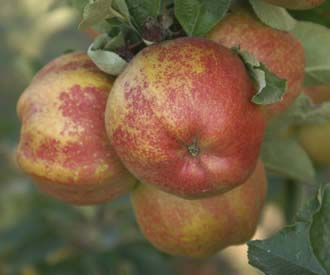 Apple - Cornish Aromatic