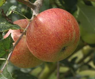 Apple - Coronation