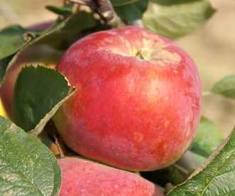 Apple - Cortland