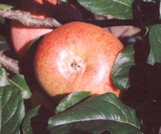 Apple - Cottenham Seedling