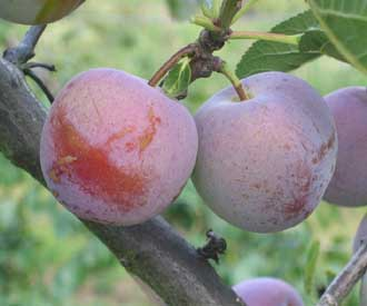Plum - Count Althann's Gage