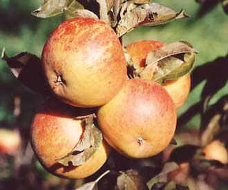 Apple - Cox's Orange Pippin