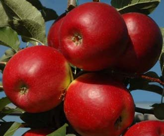 Apple - Crimson Crisp