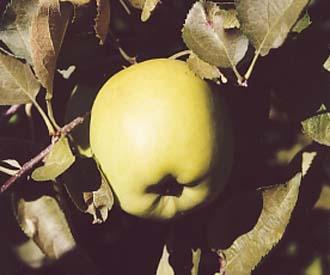 Apple - Crispin