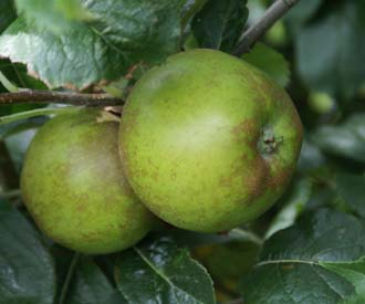 Apple - D'Arcy Spice