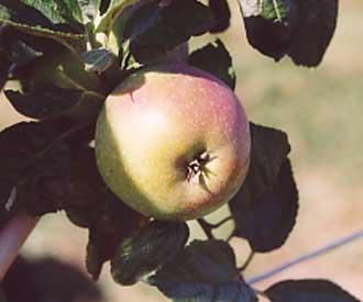 Apple - Decio