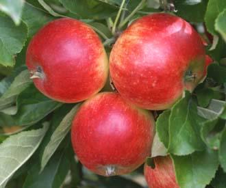 Apple - Delprim