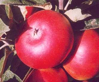 Apple - Devonshire Quarrenden