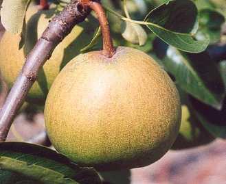 Pear - Doyenne Blanc