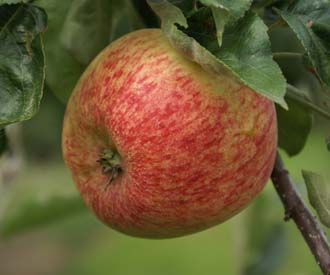 Apple - Duchess of Oldenburg