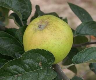 Apple - Duke of Devonshire