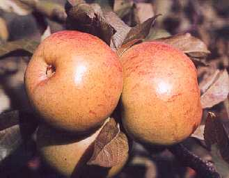 Apple - Dumelow's Seedling