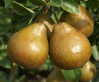 Pear - Durondeau