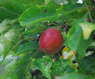 Crab Apple - Nuvar® Dusty Red