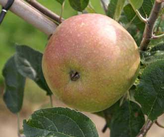 Apple - Eady's Magnum