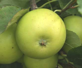 Apple - Edith Hopwood