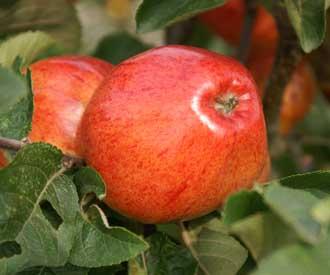 Apple - Ellis Bitter