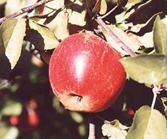 Apple - Elstar