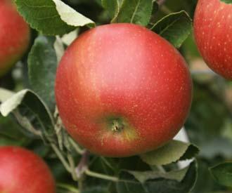 Apple - Elton Beauty